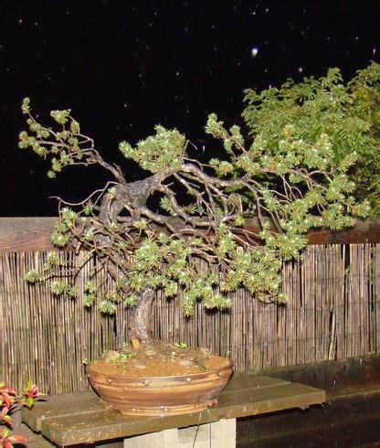 Wedges Pinus pinus sylvestris wider trunk