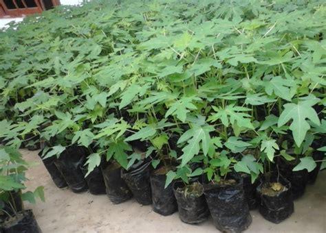 Bibit Pepaya California cara menanam budidaya pepaya california bibitbunga