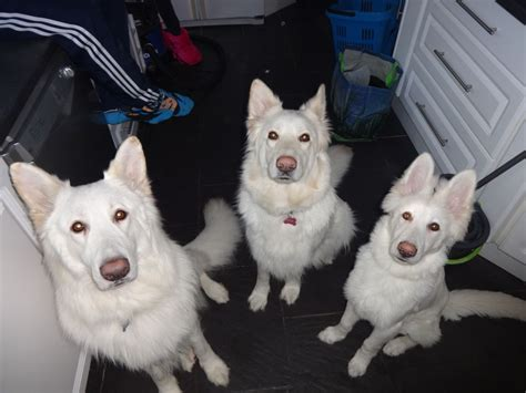 white shepherd puppies for sale white chagne german shepherd puppies for sale gillingham kent pets4homes