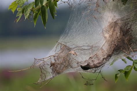 fall webworm control what to do about webworms in the