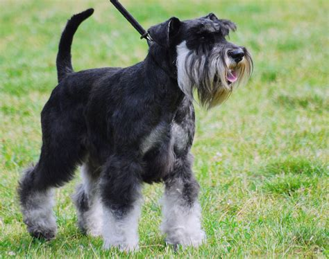 poodle terrier lifespan file miniature schnauzer r 02 jpg wikimedia commons