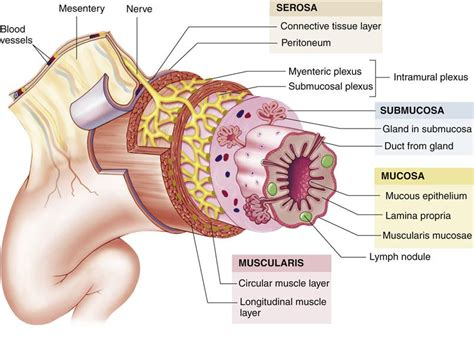 what are the four sections of the large intestine gastrointestinal function basicmedical key