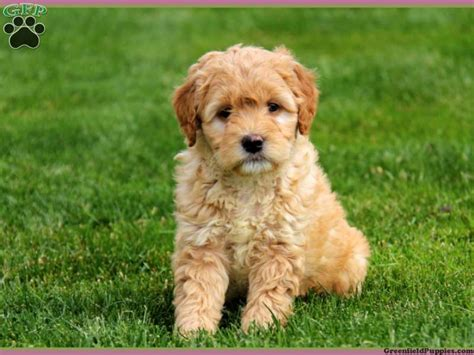 mini doodle mini goldendoodles for sale darla mini goldendoodle