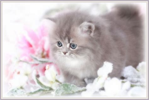 rug hugger kittens for sale chinchilla blue golden teacup rug hugger kitten for saleultra kittens for sale