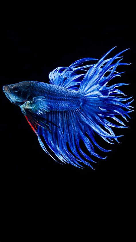 wallpaper for iphone fish apple iphone 6s wallpaper with blue betta fish in dark