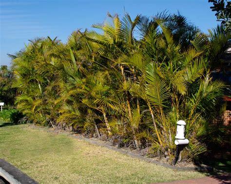 gardensonline chrysalidocarpus lutescens syn dypsis