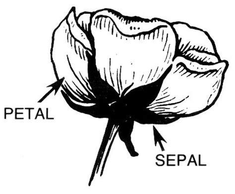 sepals clipart   cliparts  images  clipground