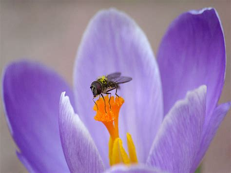 fiore viola fiore viola wallpaperart