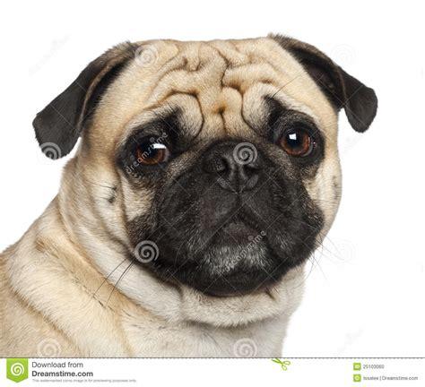 3 year pug pug 3 years sitting stock photo image 25103060
