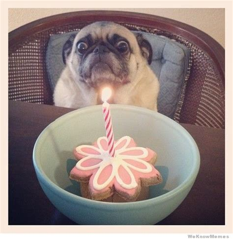 birthday pugs happy birthday pug meme