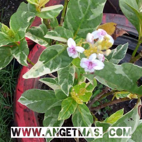 Tanaman Bunga Melati bibit tanaman bunga melati cina anget anget
