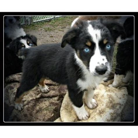 australian shepherd puppies wisconsin willowriverfarm miniature australian shepherd breeder in menomonie wisconsin