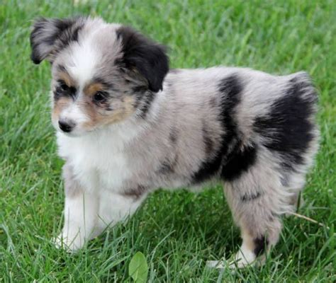 australian shepherd puppies for sale in iowa 25 best ideas about aussie puppies for sale on mini aussie for sale
