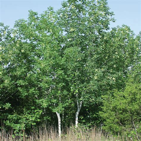 What Fruit Trees Grow In Texas - ash texas austintexas gov the official website of the city of austin