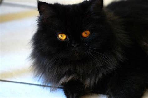 persiani gatti gatto persiano carattere e prezzo idee green