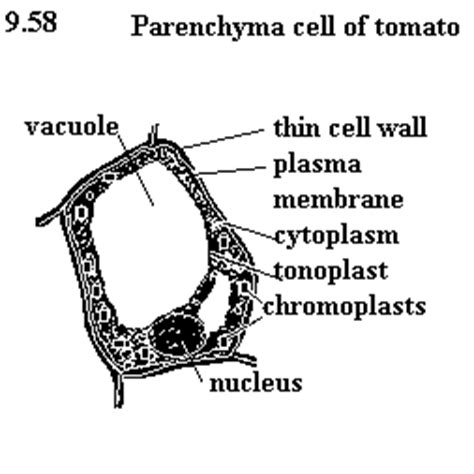 parenchyma tissue diagram draw the labelled diagram of parenchyma collenchyma and