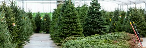 christmas tree farm near me tree farms near ta clearwater and st petersburg fl