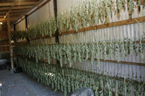marijuana drying room drying buds marijuanagrowing