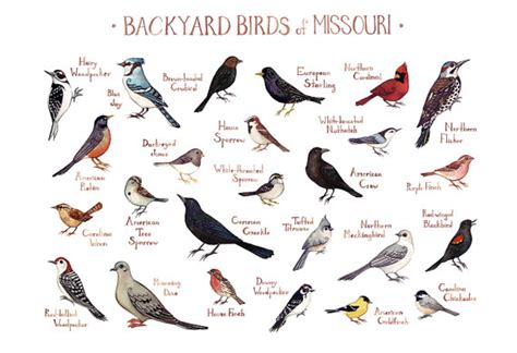 related keywords suggestions for missouri birds