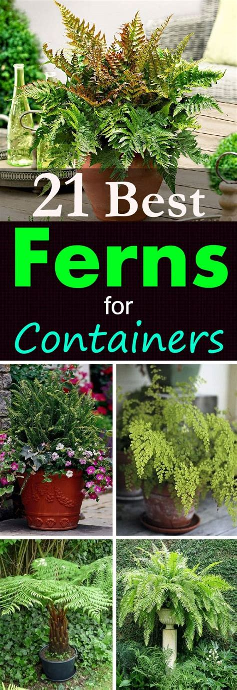 Add a tropical flare to your garden with these 21 best ferns for containers gardening viral