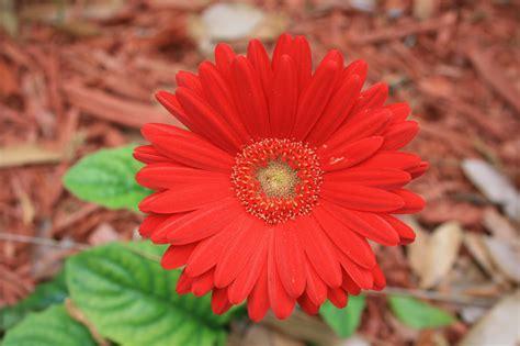 world best flower best flowers in the world daisy flower