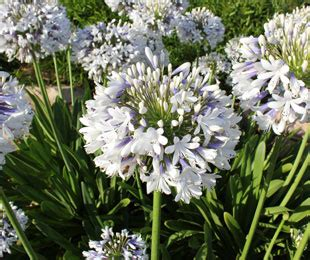 agapanthus queen mum  pot   plants