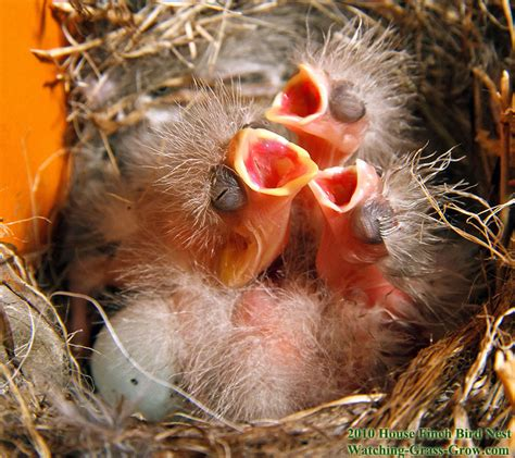 baby house finch pictures house finches nest again in 2010 live webcam