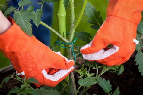 stake tomatoes hgtv