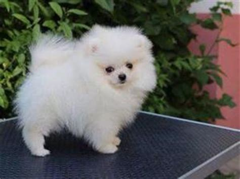 micro teacup pomeranian puppies for sale uk pomeranian puppies for sale in uk friday ad
