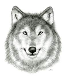 observational drawing wolf head by enigmatic wolf on