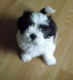 runt shih tzu 1000 images about animals on shih tzu ewok and lhasa apso