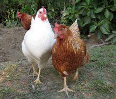 how to to come on command chooks and pigs on chicken coops hens and chicken breeds