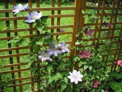pianta sempreverde con fiori clematide ricante piante da giardino