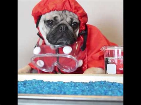 tv show compilation doug the pug doug the pug is heisenpug in breaking bad pug edition can t stop laughing
