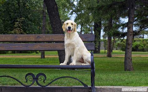 bench golden retriever golden retriever pictures