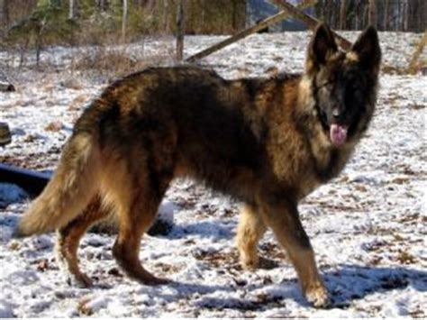 blooded german shepherd puppies for sale blooded german shepherd puppies for sale breeds picture