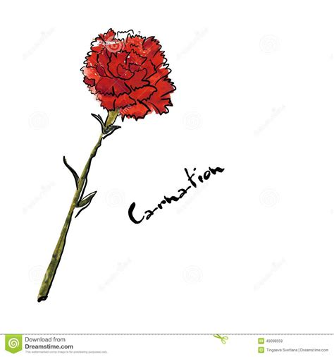 illustration with carnation flower stock vector image