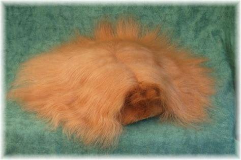 cobaya pelo corto cobayas de pelo largo mascotas