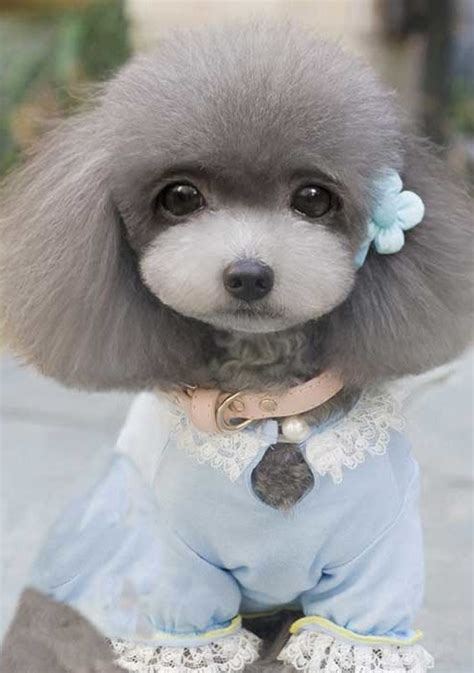 breed that looks like a teddy small that looks like a teddy breeds picture