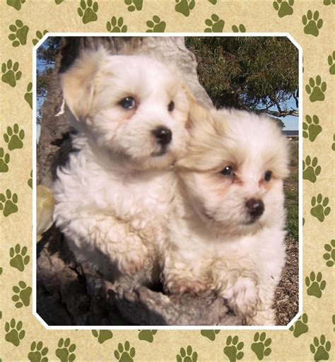 maltese shih tzu puppies for sale vic for sale gorgeous maltese bichon x shih tzu puppies