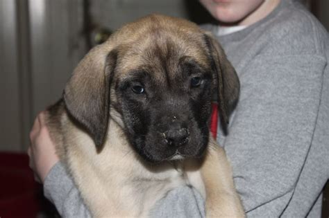 mastiff puppies for sale in ny the 25 best mastiff puppies for sale ideas on mastiff for sale mastiff