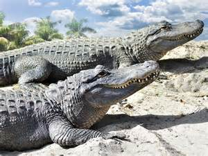 Krokodil Oder Alligator Wo Ist Der Unterschied