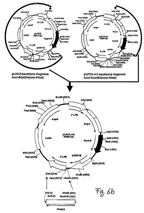 Anticorps Antifongique; fungal antibodies