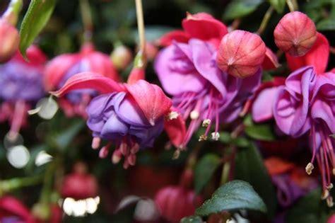 fiori fuxia fuxia o fucsia piante da giardino scopri la pianta di