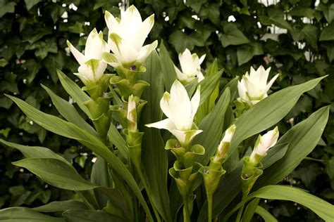 Curcuma Plante D Intã Rieur Curcuma Planter Et Cultiver Ooreka