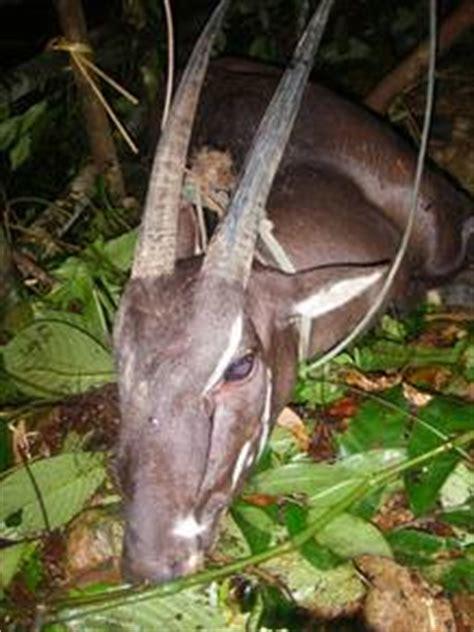 imagenes unicornio asiatico uno de los 250 ltimos unicornios asi 225 ticos muere tras ser