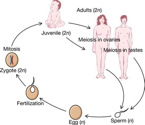 human sexual diagram reproduction the emperor newt