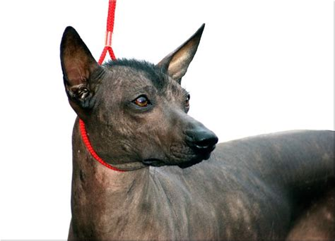 peruvian hairless 1000 images about hairless awesomeness on chihuahuas pets and puppys