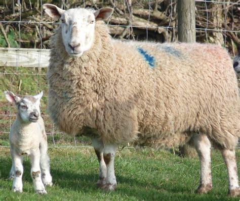pug sheep sheep 1 eat halal