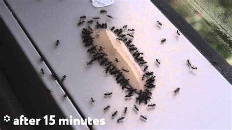 in the best way ant gel is the best way to kill ants timelapse